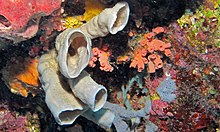 Tube Sponges (Amphimedon sp.) (8475589243).jpg