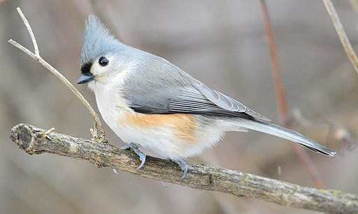 Tufted Titmouse (187854953)