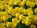 Tulip cv. 102.JPG