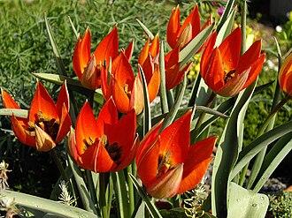 Tulipa orphanidea - Image: Tulipa whittallii 4