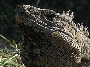 Iguanidae - Image: Tulum iguana 001