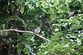 Turdus plumbeus in Dominica-a02.jpg