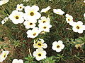 Turnera subulata-3-xavier cottage-yercaud-salem-India.JPG