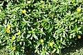 Turnera ulmifolia 14zz.jpg