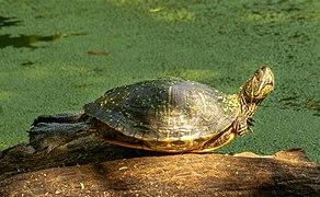 Turtle in PP (80462).jpg