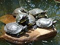 Turtles.on.a.stone.in.brazil.jpg