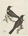 Twee beflijsters (Purdus Torquatus) met een ei.jpeg