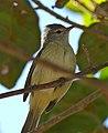 Tyrant Flycatcher (Elaenia sp.) (31205894950).jpg