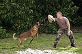 US Navy 050120-N-7293M-182 Master-at-Arms 3rd Class Bradley V. Frantz, acting as an aggressor during a training exercise, is attacked by Military Working Dog (MWD) Rico.jpg