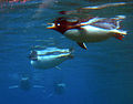 Underwater Penguin Edinburgh Zoo 2004 SMC.jpg