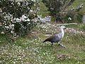 Upland Goose in Tierra del Fuego National Park (5536598666).jpg