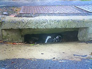 Urban wildlife - Penguins nesting in a roadside suburban storm water drain