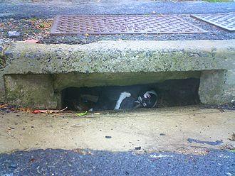 Urban wildlife - Penguins nesting in a roadside suburban storm drain