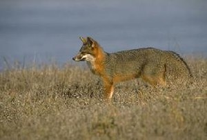 Fauna of California - The Channel Island fox is native to six of the eight Channel Islands of California. There are six subspecies of the fox, each unique to the island it lives on, reflecting its evolutionary history.