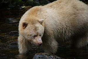 Kermode bear - At the Sprit Bear Lodge, Klemtu, BC
