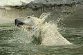 Ursus maritimus at the Bronx Zoo 001.jpg