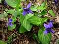 VIOLA SYLVESTRIS - LLANERA - IB-247 (Viola silvestre).JPG