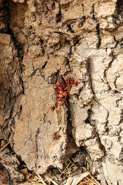 Pyrrhocoris apterus, firebug having a get-together.