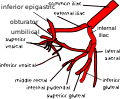 Variation 4 of internal iliac artery branching.svg