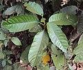 Vateria indica 10.JPG