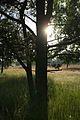 Veberöds Ljung Baklyst Träd.jpg