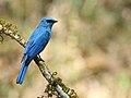 Verditer Flycatcher, Ganeshgudi, Vimal Rajyaguru, 02.jpg