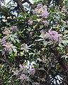 Vernonia arborea 07.JPG