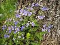 Veronica chamaedrys ssp. chamaedrys 1.JPG