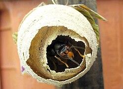 Vespa velutina wikip dia - Comment detruire un nid de guepes sous les tuiles ...