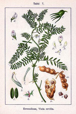 Vicia ervilia - Image: Vicia ervilia Sturm 7