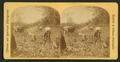 View of African American workers in a cotton field near Atlanta, by Roberts & Fellows.png