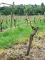 Vines in May - geograph.org.uk - 173782.jpg