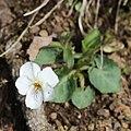 Viola keiskei (flower).jpg