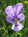 Viola tricolor - ljubičica.jpg