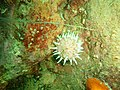 Violet spotted sea anemone at Lorry Bay PB011904.JPG