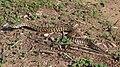 Vipera palaestinae - D7-12-5124.JPG