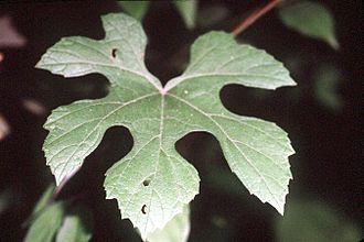 Vitis aestivalis - Image: Vitis aestivalis (USDA)
