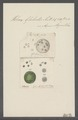 Volvox globator - - Print - Iconographia Zoologica - Special Collections University of Amsterdam - UBAINV0274 113 23 0012.tif