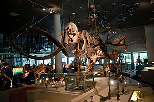 Naturalis Biodiversity Center - Mammoth skeleton on display in the section  about prehistoric animals