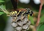 Wasp March 2008-3.jpg