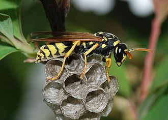Polistes dominula - Image: Wasp March 2008 3