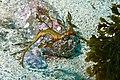 Weedy seadragon-Phyllopteryx taeniolatus.jpg
