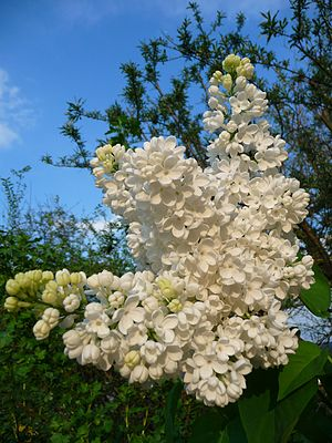 When the White Lilacs Bloom Again (1953 film) - Blooming white lilacs