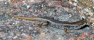 Whites skink species of reptile