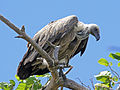 White-backed Vulture RWD.jpg