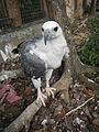 White-bellied Sea Eagle - Haliaeetus leucogaster - Ninoy Aquino Parks & Wildlife Center 16.jpg