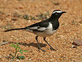 White-browed Wagtail (Motacilla madaraspatensis) in Hyderabad W IMG 4379.jpg