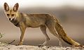 White-footed fox in its Desert Habitat (cropped).jpg