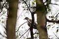 White-winged dove (31970368587).jpg