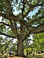 White Oak Tree, Woodlawn Cemetery, Bronx, NY - September 16, 2012.jpg